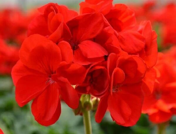 Muškát, pelargonie páskatá 'Intensive Red' - Pelargonium zonale 'Intensive Red'