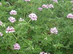 Muškát, pelargonie vonná 'Lila' - Pelargonium odoratissimum 'Lila'