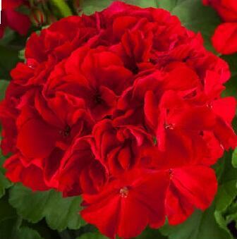 Muškát, pelargonie půdopokryvná plnokvětá 'Calliope Red' - Pelargonium hybridum 'Calliope Red'