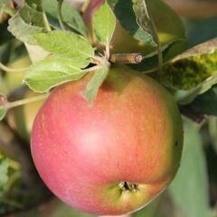 Jabloň zimní 'Zuzana' - Malus domestica 'Zuzana'