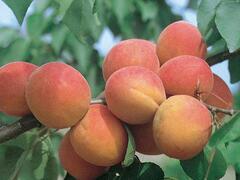 Meruňka pozdní 'Bergeron' - Prunus armeniaca 'Bergeron'