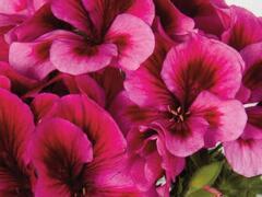 Muškát, pelargonie velkokvětá 'Elegance Adriana' - Pelargonium grandiflorum 'Elegance Adriana'