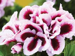 Muškát, pelargonie velkokvětá 'Elegance Patricia' - Pelargonium grandiflorum 'Elegance Patricia'