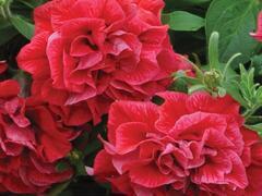 Petúnie 'Tumbelina Inga' - Petunia hybrida 'Tumbelina Inga'