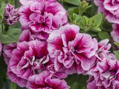 Petúnie 'Tumbelina Francesca' - Petunia hybrida 'Tumbelina Francesca'