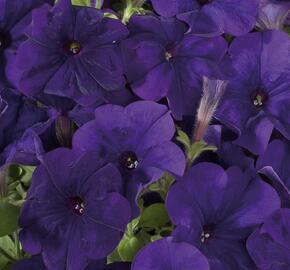 Petúnie 'Ray Blue' Improved - Petunia hybrida 'Ray Blue' Improved