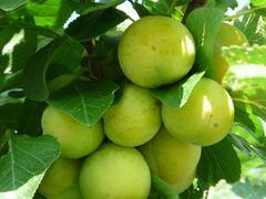 Renklóda - raná 'Ontario' - Prunus domestica 'Ontario'