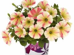 Petúnie 'Peppy Sunset' - Petunia hybrida 'Peppy Sunset'