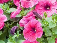Petúnie 'Sweet Pleasure Hot Pink' - Petunia hybrida 'Sweet Pleasure Hot Pink'