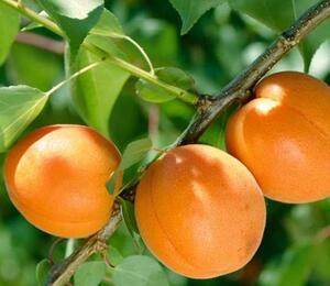 Meruňka středně raná 'Tros Oranje' - Prunus armeniaca 'Tros Oranje'