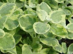 Smil 'Variegata' - Helichrysum petiolare 'Variegata'