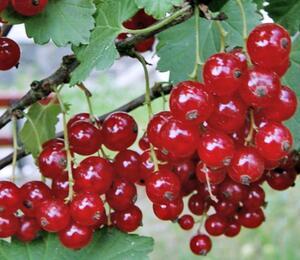 Rybíz červený 'Rubigo' - Ribes rubrum 'Rubigo'