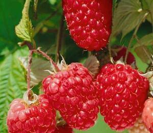 Maliník remontantní 'Himbo Top' - Rubus ideaus 'Himbo Top'