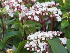 Kalina vavřínová 'Lisa rose' - Viburnum tinus 'Lisa rose'