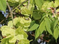 Jilm habrolistý - Ulmus carpinifolia