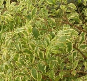 Pámelník červený 'Variegatus' - Symphoricarpos orbiculatus 'Variegatus'