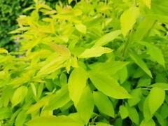 Tavolník slivoňolistý 'Goldfire' - Spiraea prunifolia 'Goldfire'