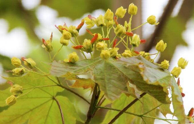 Javor mléč 'Emerald Queen' - Acer platanoides 'Emerald Queen'