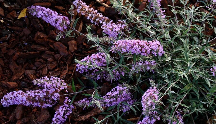 Motýlí keř, Komule Davidova 'Lavender Flow' ( Free Petite®) - Buddleia davidii 'Lavender Flow' ( Free Petite®)