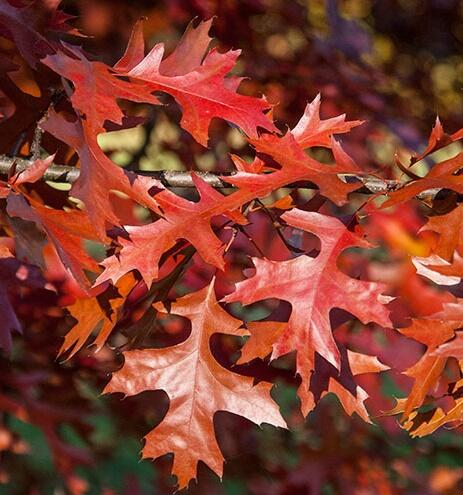 Dub šarlatový - Quercus coccinea
