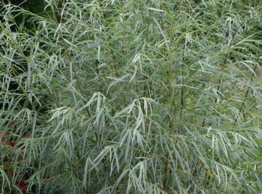 Vrba - Salix exigua