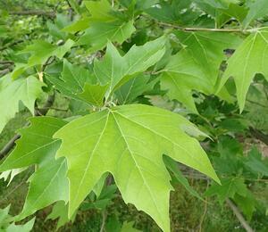 Platan východní - Platanus orientalis