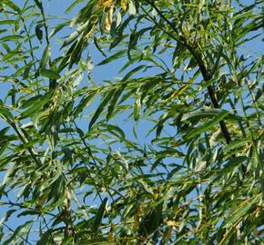 Vrba špičatolistá 'Pendulifolia' - Salix acutifolia 'Pendulifolia'