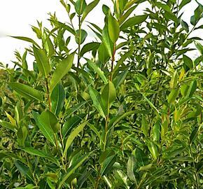 Vrba pětimužná - Salix pentandra