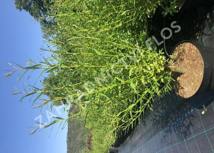Vrba Smithova - Salix smithiana