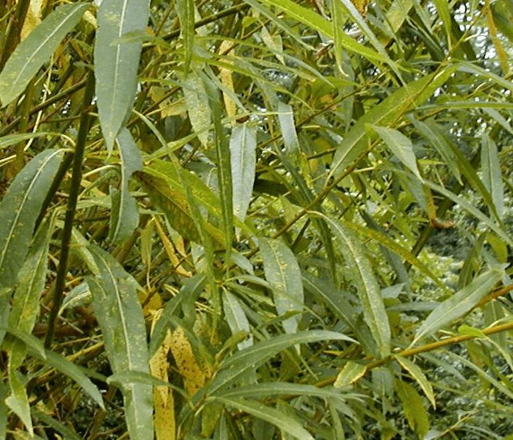 Vrba lýkovcová - Salix daphnoides
