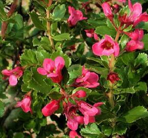 Zábluda 'Dart's Rosy Red' - Escallonia 'Dart's Rosy Red'