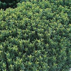 Brslen Fortuneův 'Green Spire' - Euonymus fortunei 'Green Spire'
