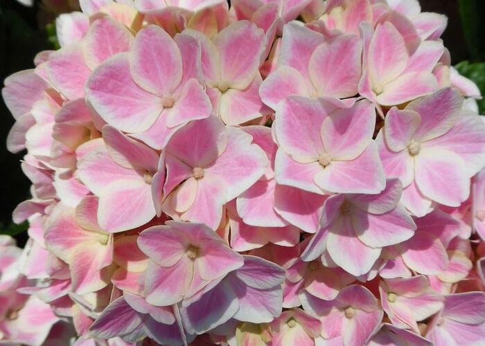 Hortenzie velkolistá 'You & Me Peppermint' - Hydrangea macrophylla 'You & Me Peppermint'