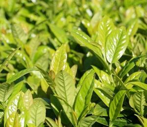 Bobkovišeň lékařská 'Josa' - Prunus laurocerasus 'Josa'