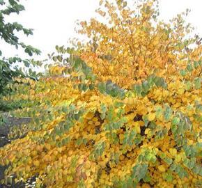 Zmarličník japonský 'Ra' - Cercidiphyllum japonicum 'Ra'
