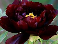 Pivoňka dřevitá 'Dark Red' - Paeonia suffruticosa 'Dark Red'