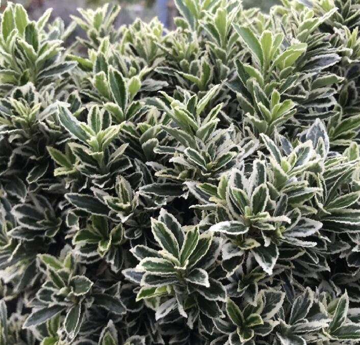 Brslen japonský 'Microphyllus Albovar' - Euonymus japonicus 'Microphyllus Albovar'
