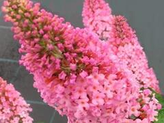 Motýlí keř, Komule Davidova 'Pink Panther' - Buddleia davidii 'Pink Panther'