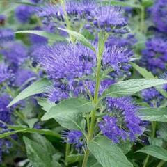 Ořechokřídlec clandonský 'Blue Empire' - Caryopteris clandonensis 'Blue Empire'