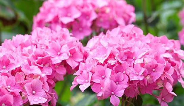 Hortenzie velkolistá 'Gerda Steiniger' - Hydrangea macrophylla 'Gerda Steiniger'