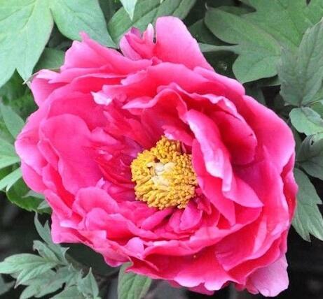 Pivoňka dřevitá 'Dark Pink' - Paeonia suffruticosa 'Dark Pink'