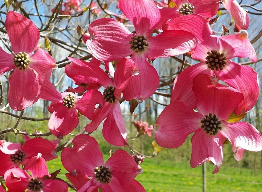 Dřín květnatý 'Royal Red' - Cornus florida 'Royal Red'