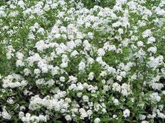 Tavolník japonský 'Inez' - Spiraea japonica 'Inez'