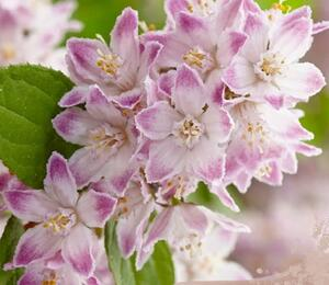 Trojpuk 'Raspberry Sundae' - Deutzia 'Raspberry Sundae'