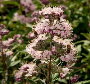 Ořechokřídlec clandonský 'Stephi' - Caryopteris clandonensis 'Stephi'