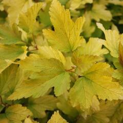 Tavola kalinolistá 'Anny's Gold' - Physocarpus opulifolius 'Anny's Gold'