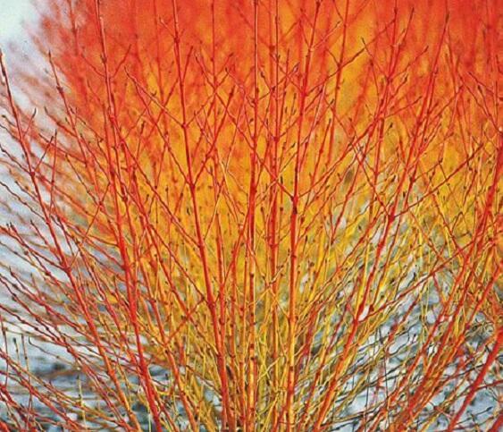 Svída krvavá 'Winter Flame' - Cornus sanguinea 'Winter Flame'