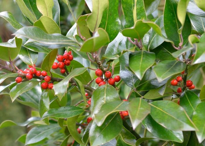 Cesmína altaklarenská 'Camelliifolia' - Ilex altaclerensis 'Camelliifolia'
