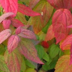 Tavolník japonský 'Macrophylla' - Spiraea japonica 'Macrophylla'