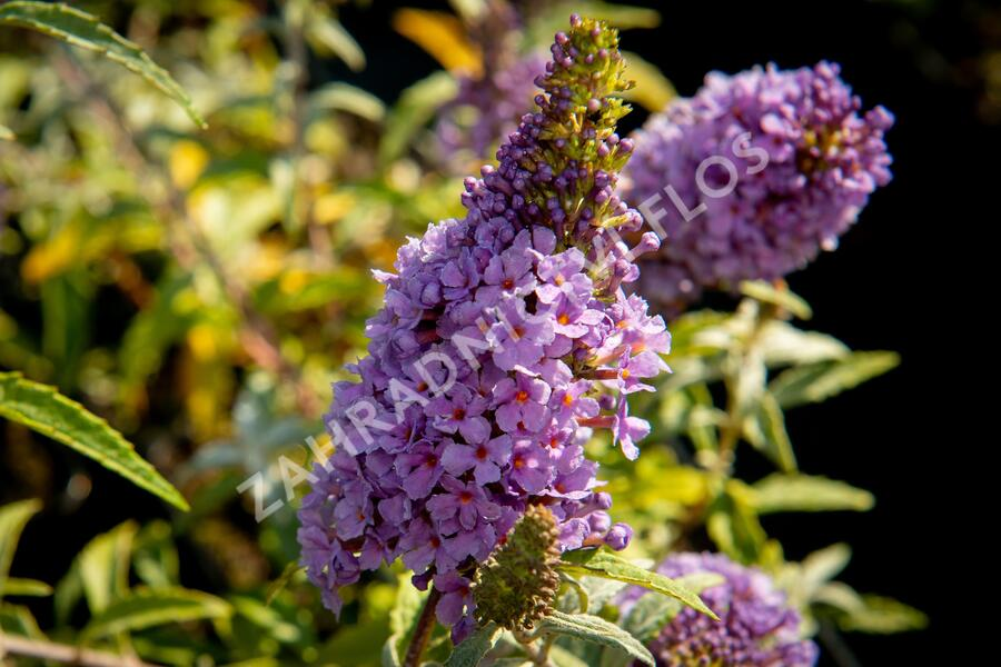 Motýlí keř, komule 'Summer Bird Compact Purple' - Buddleia 'Summer Bird Compact Purple'